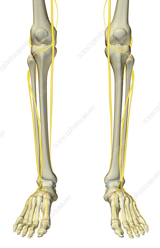 The nerves of the leg - Stock Image F001/3779 - Science Photo Library