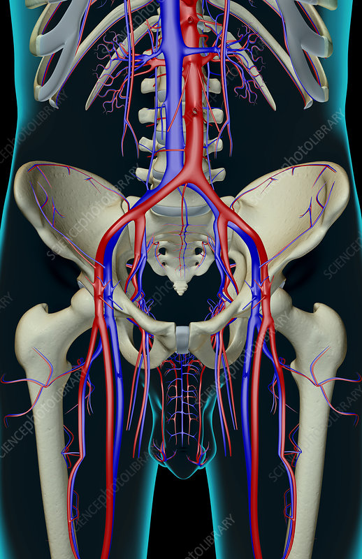 The blood supply of the pelvis
