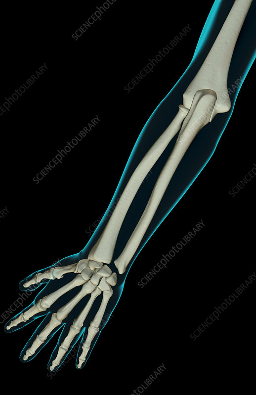 The bones of the forearm