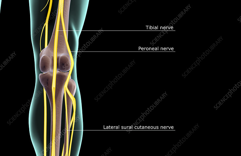 The nerve supply of the knee stock image f0013901 science photo the nerve supply of the knee ccuart Choice Image