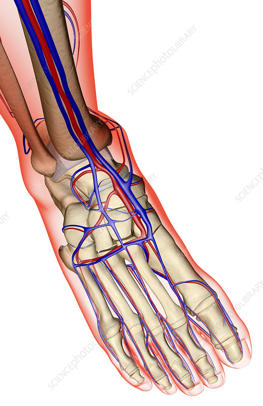 The Blood Supply Of The Foot Stock Image F0013973 Science