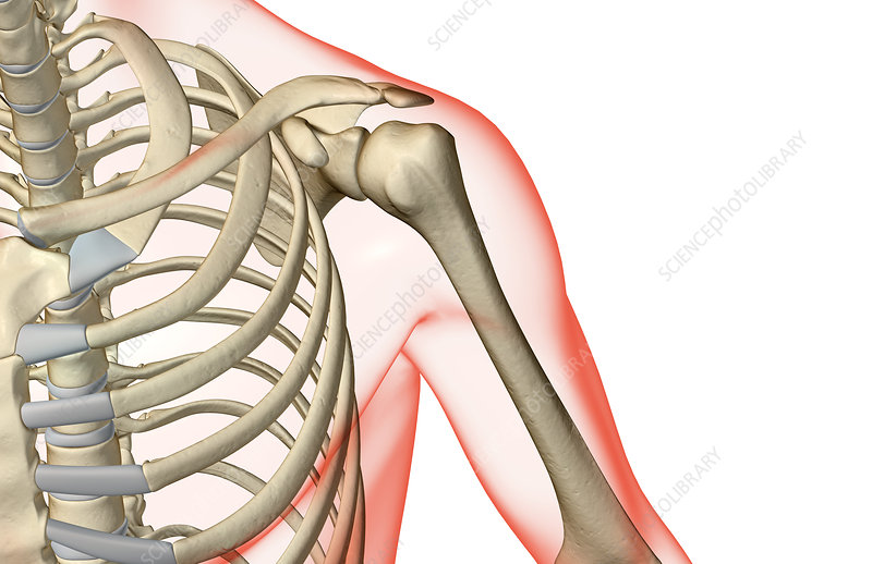The bones of the shoulder