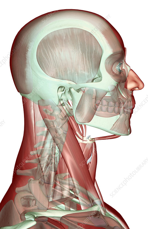 'The musculoskeleton of the head, neck and face'