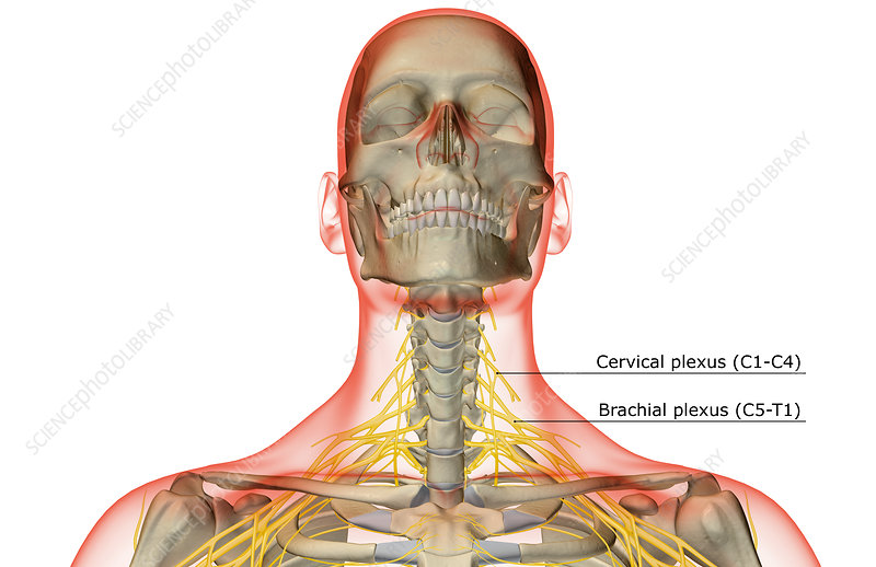 The nerves of the neck - Stock Image F001/4194 - Science Photo Library