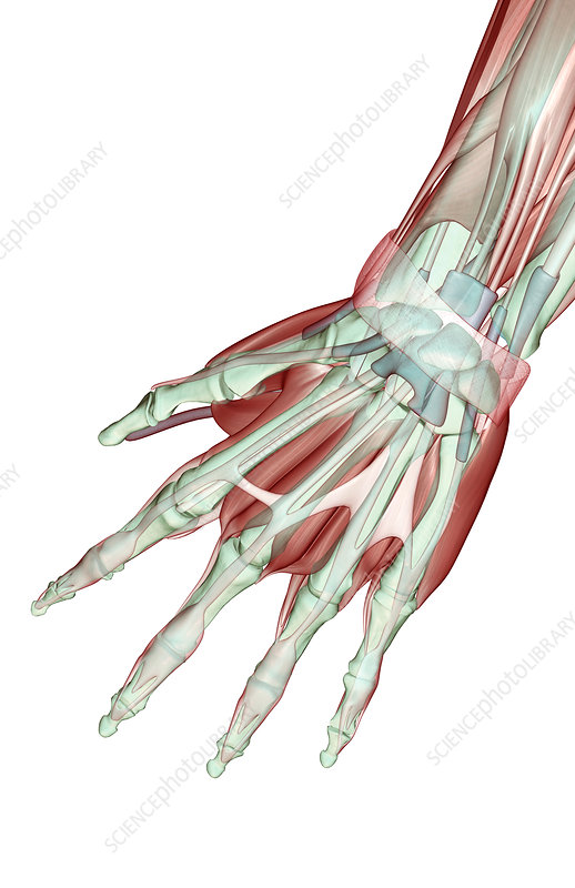 The musculoskeleton of the hand