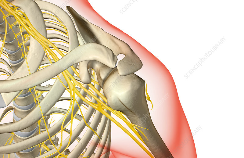 The nerves of the shoulder