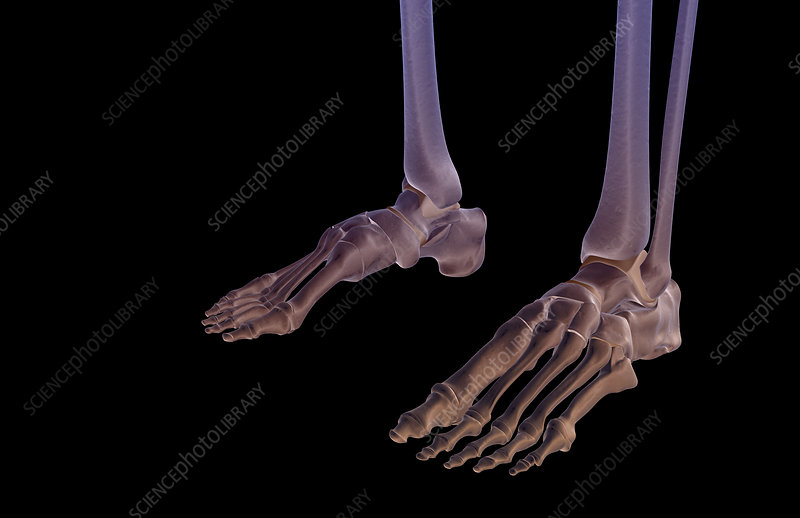 The bones of the feet