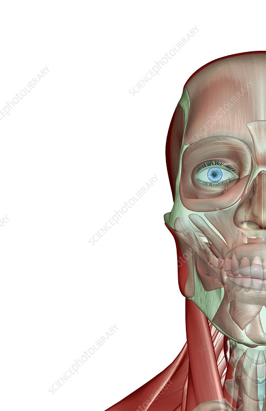 The musculoskeleton of the face