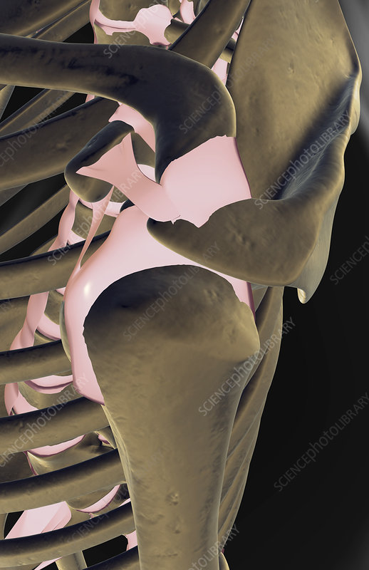 The ligaments of the shoulder