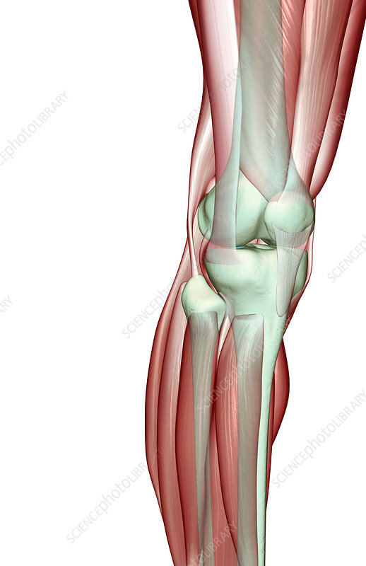 The musculoskeleton of the knee