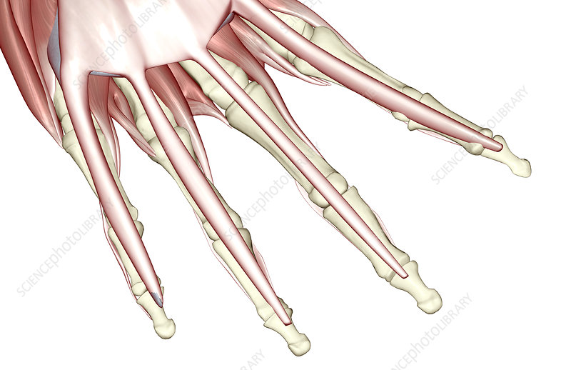 The muscles of the fingers