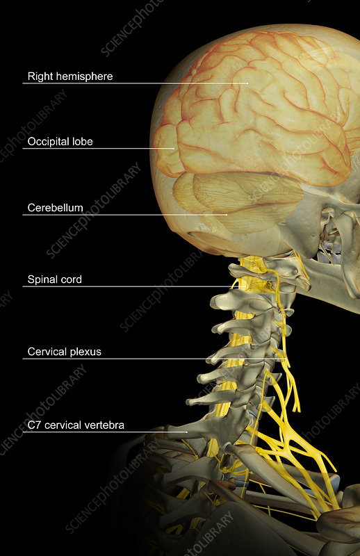 The brain and the cervical nerves