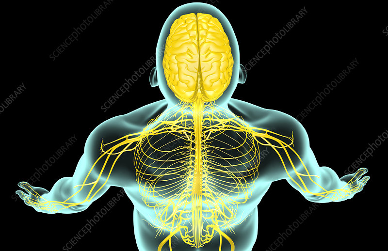 The nerves of the head and shoulder
