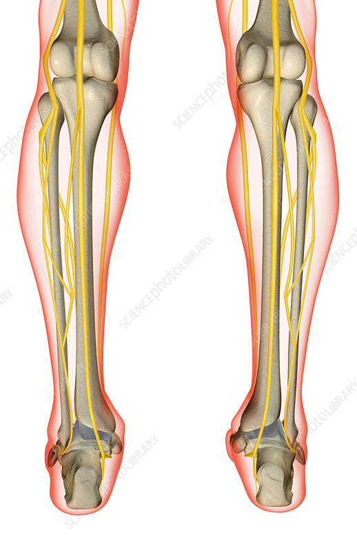 The nerves of the leg - Stock Image F001/5207 - Science Photo Library