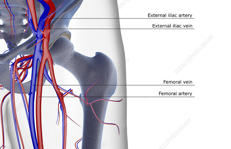 The blood supply of the hip