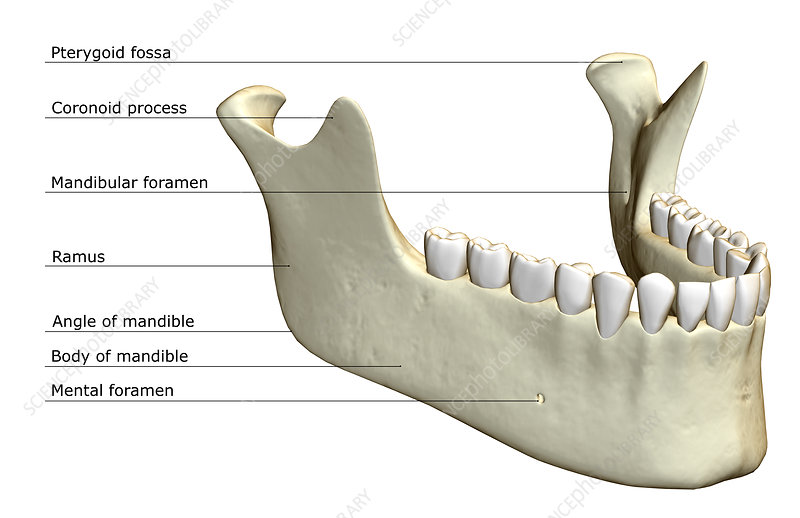 The jaw bone - Stock Image F001/5441 - Science Photo Library