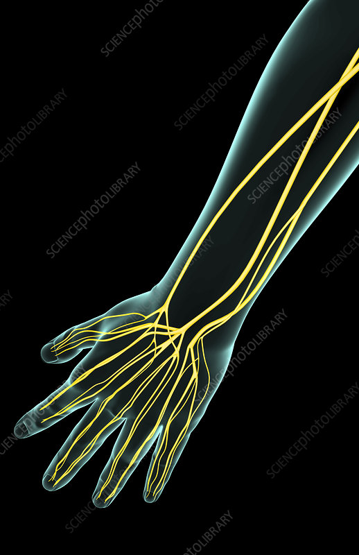 The nerves of the forearm