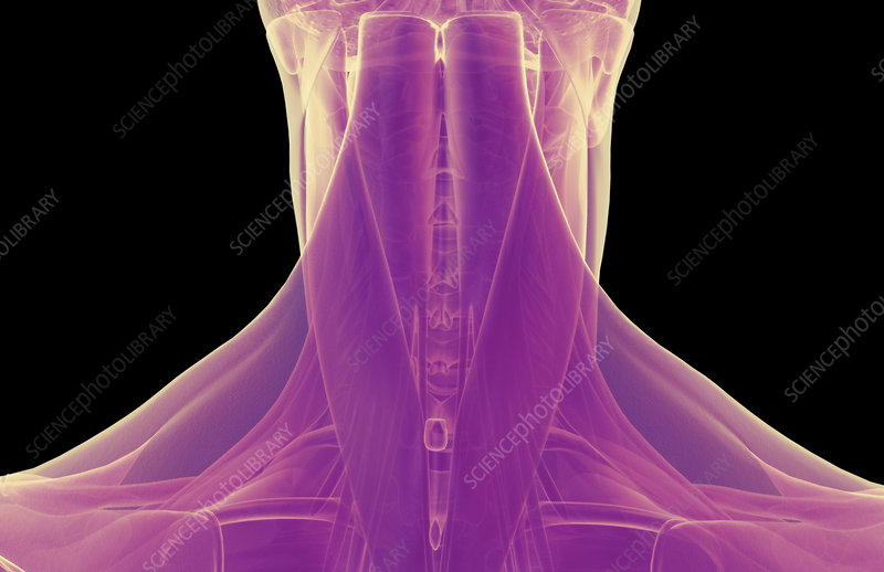The muscles of the neck