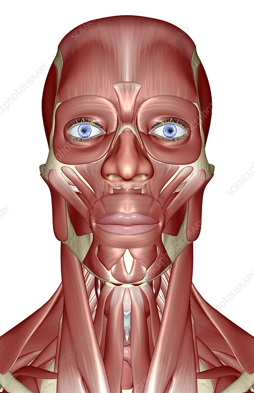 'The muscles of the head, neck and face'