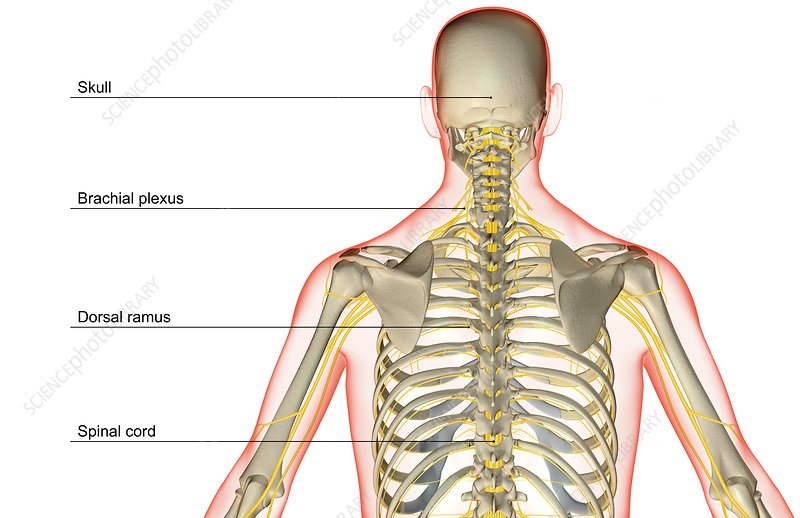 The nerve supply of the upper body