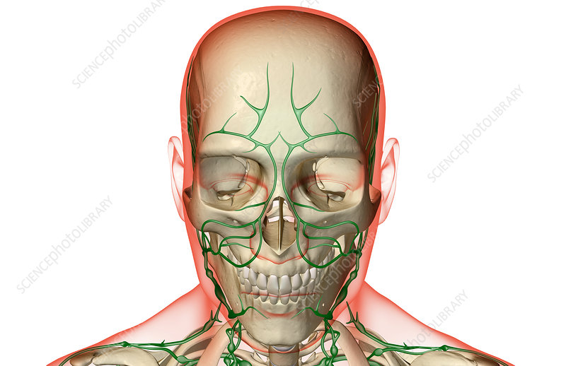 The lymph supply of the head and face