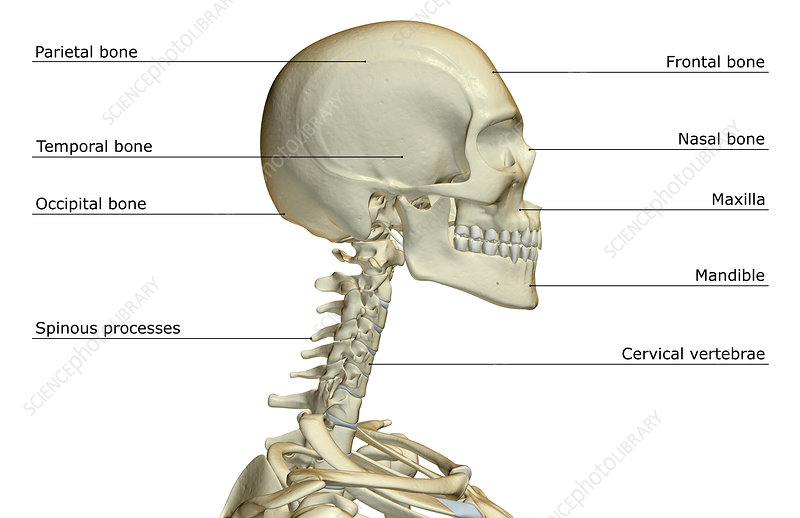 The Bones Of The Head And Neck Stock Image F0015907 Science