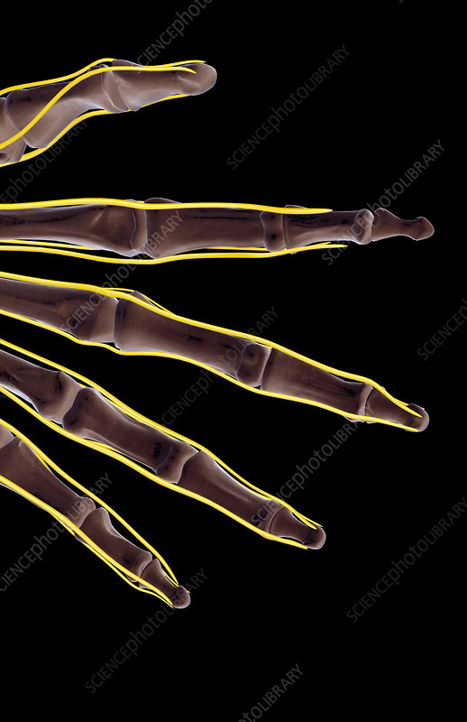 The nerves of the fingers