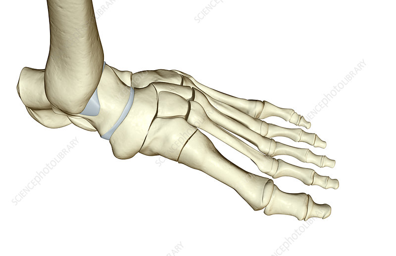 The bones of the foot