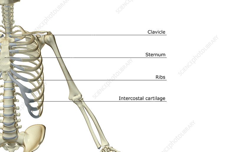 The bones of the upper limb