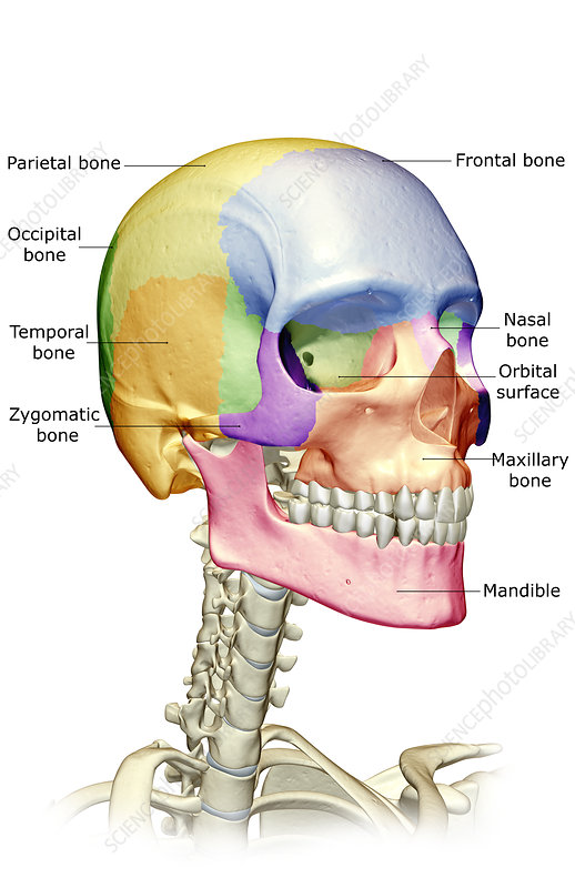 'the bones of the head, neck and face' - stock image - f001/6194 - science  photo library