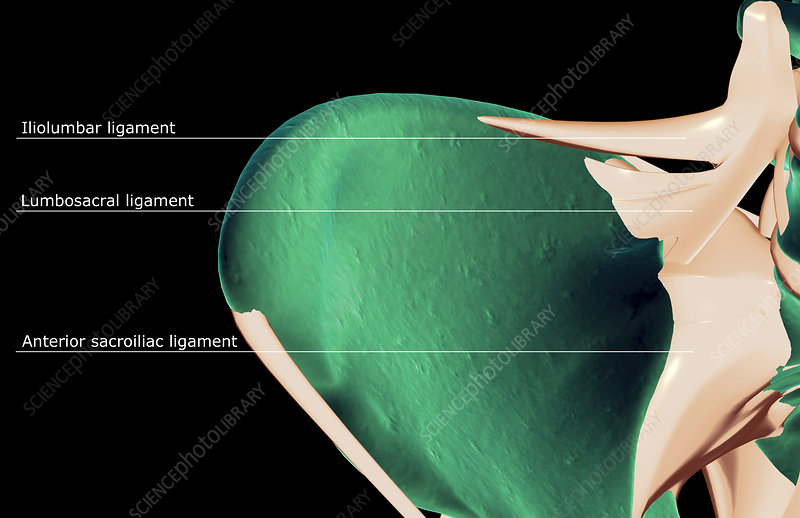 The ligaments of the hip