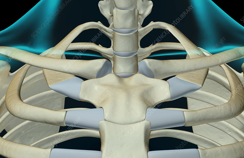 The bones of the neck