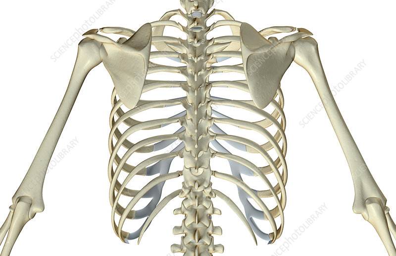 The Bones Of The Upper Body Stock Image F0016296 Science