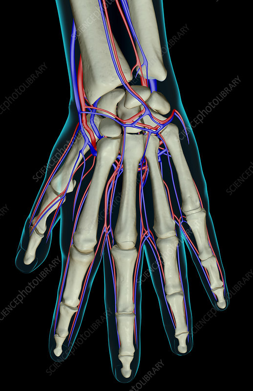 The blood supply of the hand