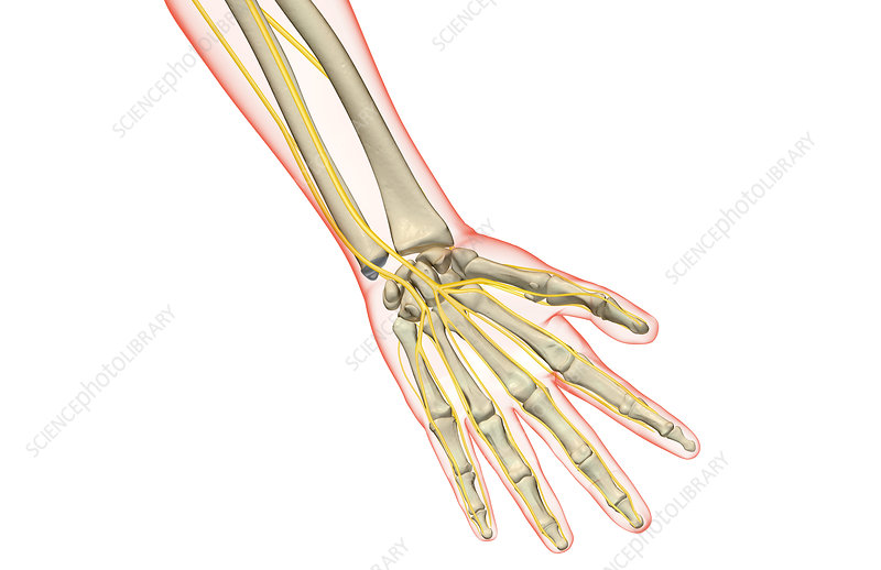 The nerves of the hand