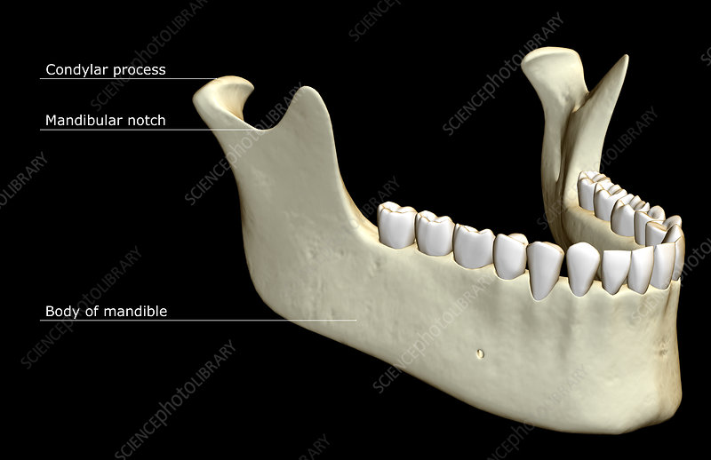 The jaw bone