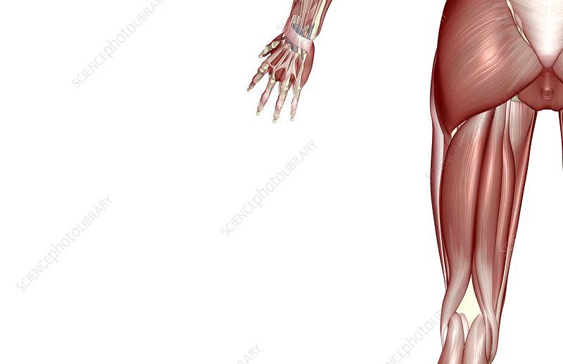 Hamstring muscle diagram