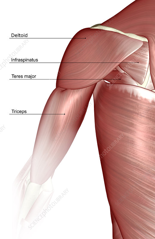 The muscles of the shoulder