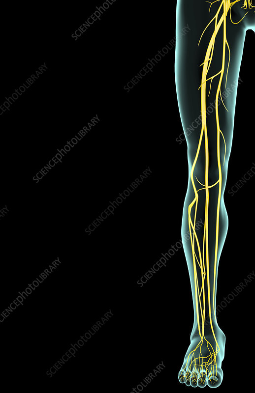 The nerves of the lower limb