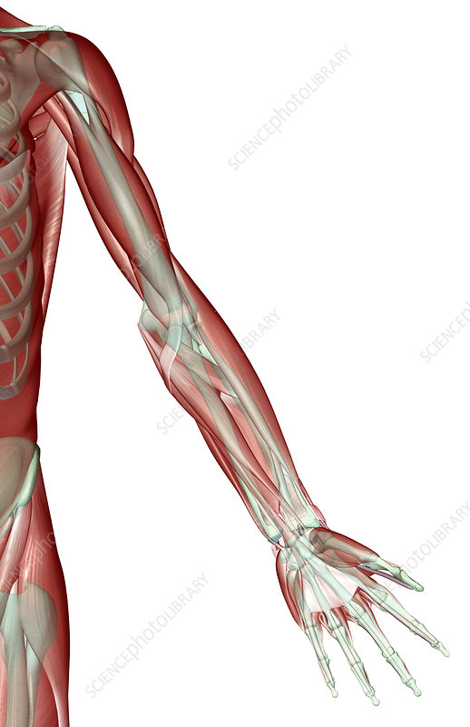 Upper limb musculoskeleton