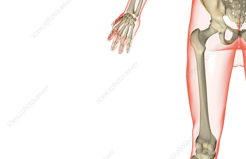 The bones of the thigh