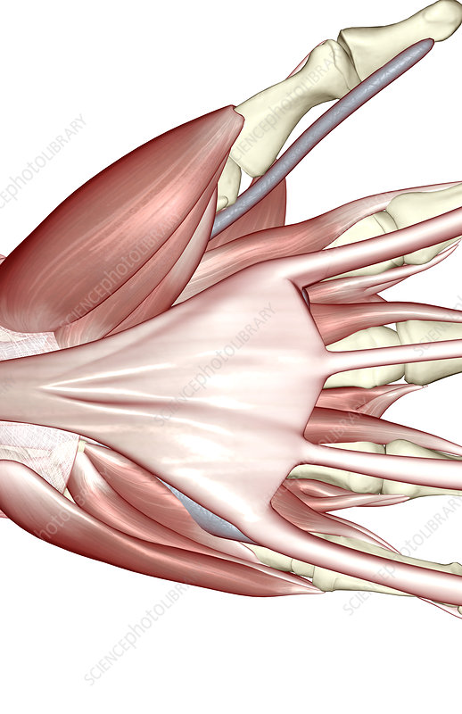 The muscles of the hand