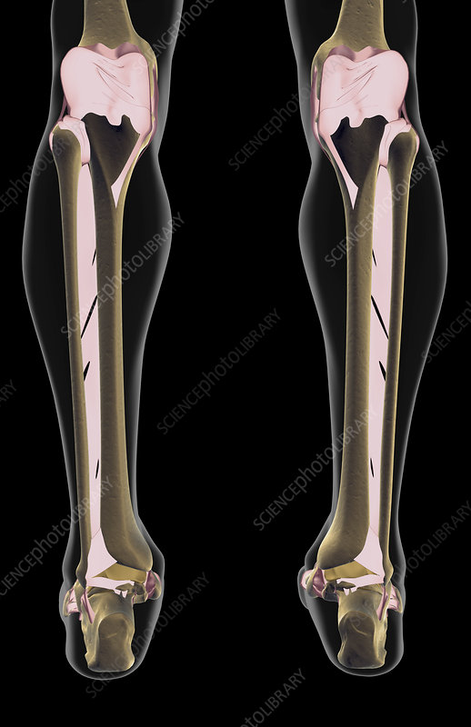 The ligaments of the leg