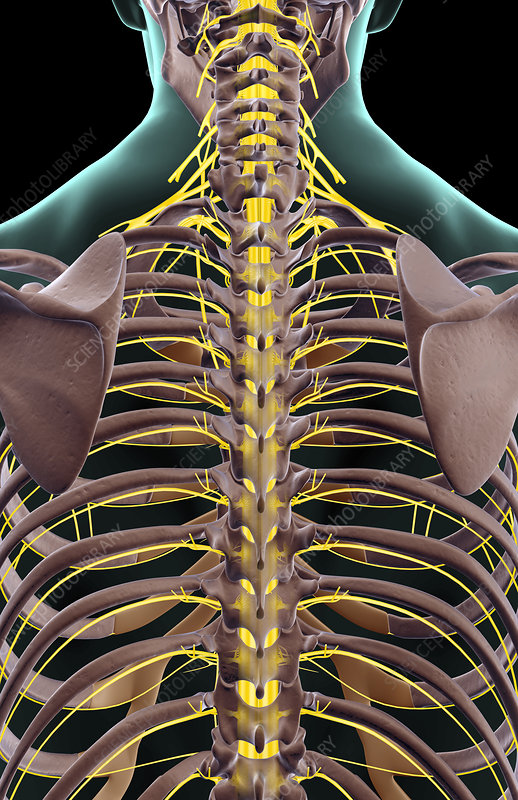 The nerves of the lower back