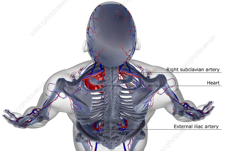 The blood supply of the head and shoulder