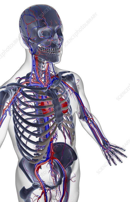 The blood supply of the upper body
