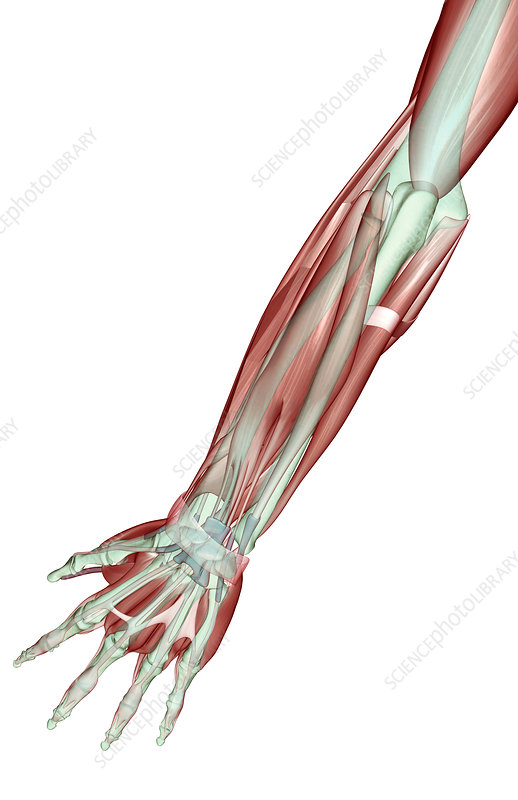 The musculoskeleton of the forearm