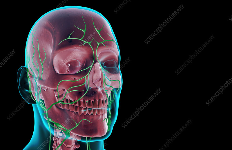 The Lymph Supply Of The Head And Face Stock Image F0017281