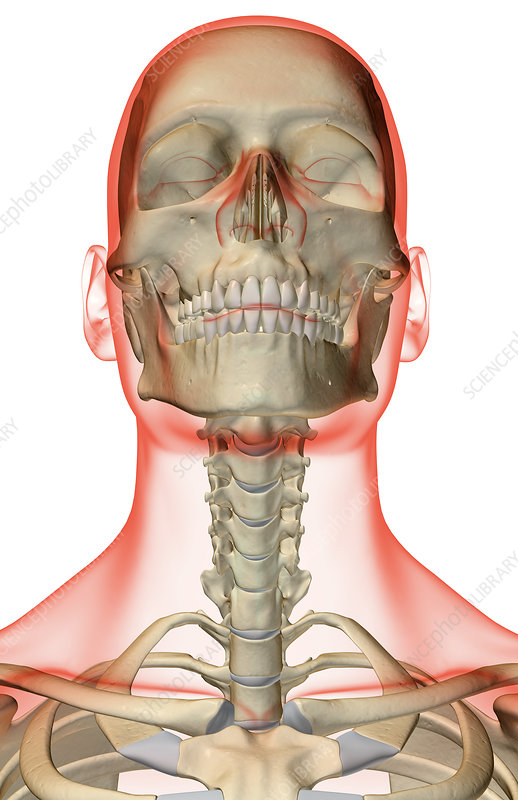 'The bones of the head, neck and face'