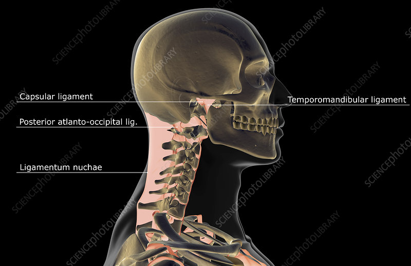 The ligaments of the head and neck